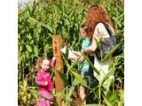 Lacey Green Maize Maze, Princes Risborough