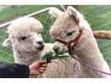 Mayfield Alpacas, Sheffield