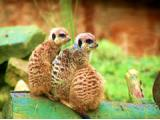 Thorp Perrow Gardens - Falcons & Meerkats